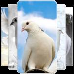 Dove Wallpaper FOR PC