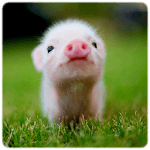 Mini Pig Wallpapers icon