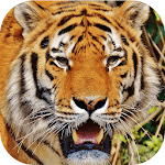 Tiger Sounds icon