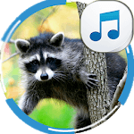 Sounds of Raccoon APK icon