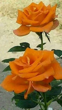 Beautiful flowers and roses pictures Gif APK screenshot 1