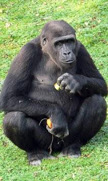 Gorilla Wallpaper APK screenshot 1